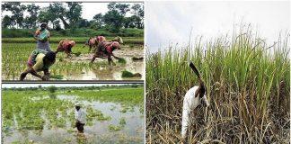 कुशीनगर में मौसम की मार से किसान परेशान